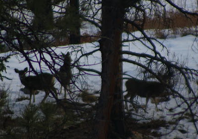 Mule deer in Babcock Hole