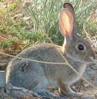 Gray rabbit in the brush