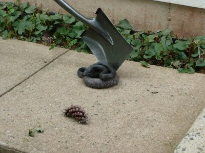 Giant rat snake