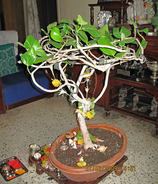 Bonsai plant banyan