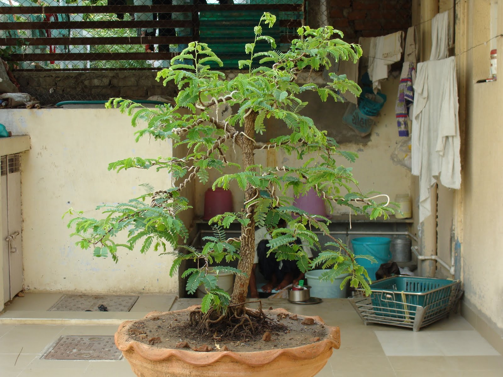 PARAG MEHTA39S BONSAI CREATION
