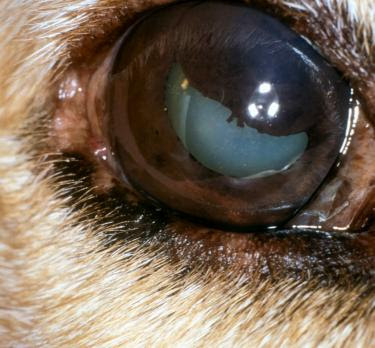 Dog Eye White Membrane On Inner Eyelid