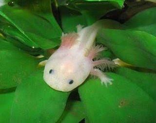 Axolotl – The Water Monster