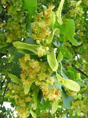 ... de otras infusiones que se preparan a partir de las hojas se elabora