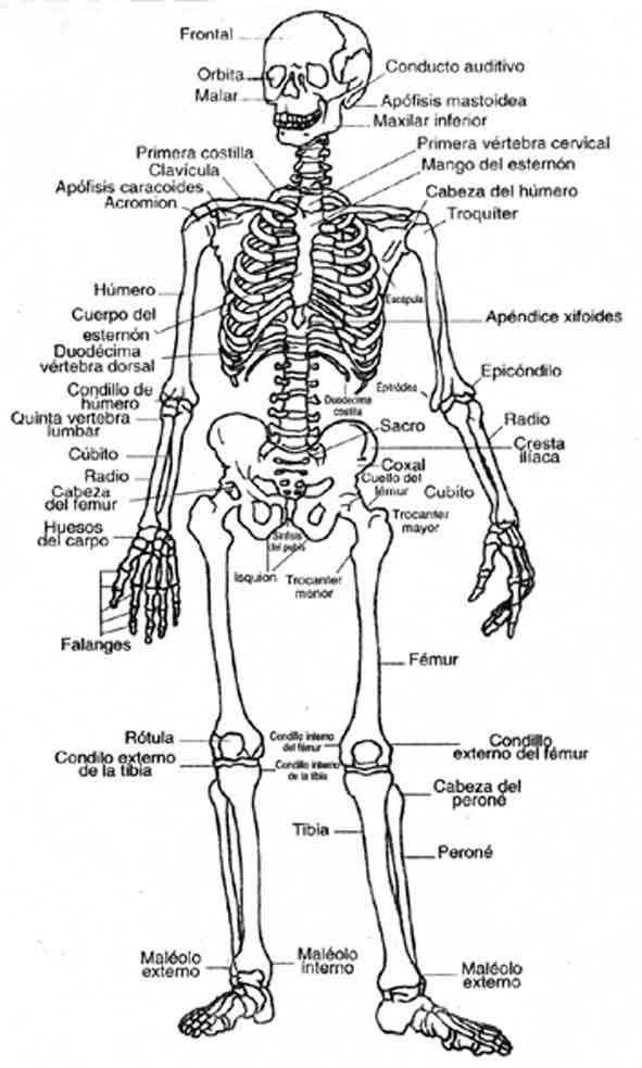 Excepcional Imprimible Diagrama De Sistema Muscular Composición ...