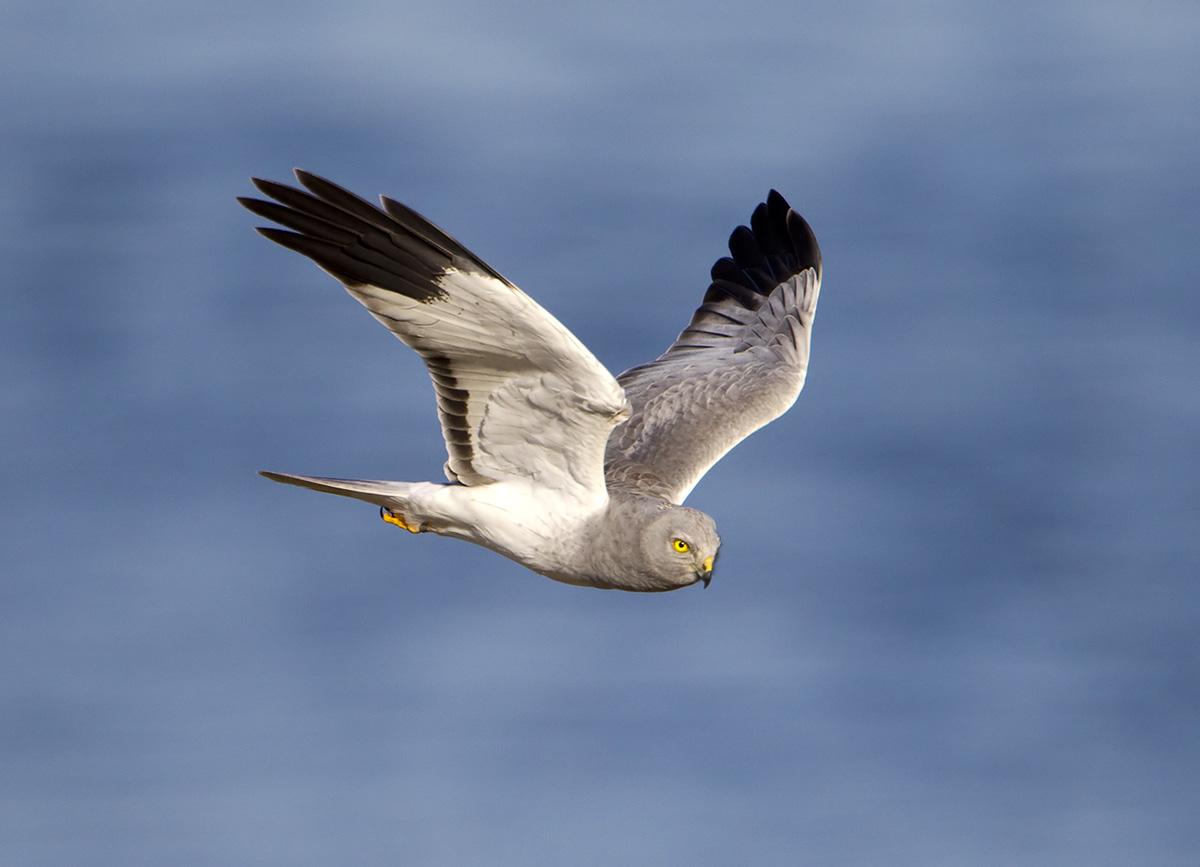Pewit Male Hen Harrier