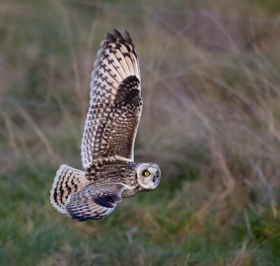 Pictures Of Owls In Flight. flight owls