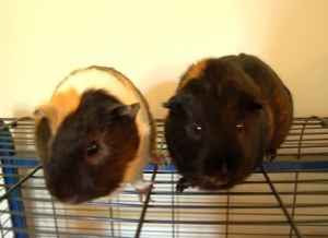 Adopt a guinea pig in pa nj ny wv pa craigslist - Craigslist pittsburgh farm and garden ...