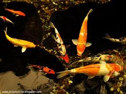 Ornamental fish for Ornamental pond fish inc