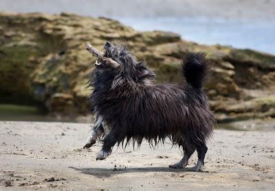 Hairy Maclary Dog Breed