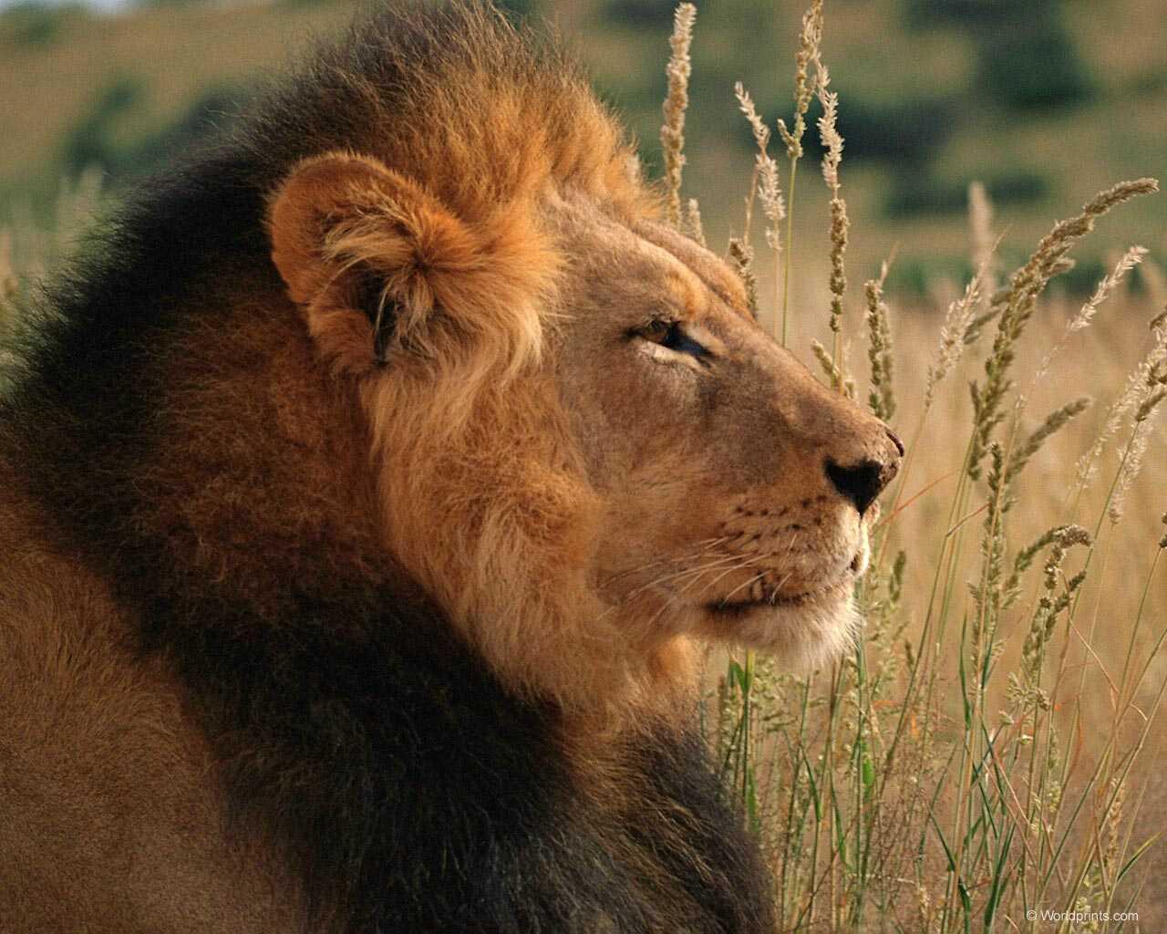 El clan del arte mi signo el gran le n leo for Immagini leone hd