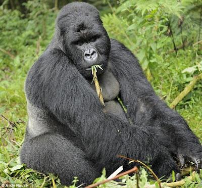 Drunken Gorillas 2