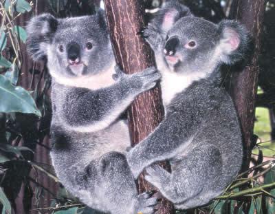 http://3.bp.blogspot.com/_6AJ6hLC2QGU/SkErEa62OQI/AAAAAAAAAE4/RsB4YOncS4M/s400/koalas-asutralianos.jpg