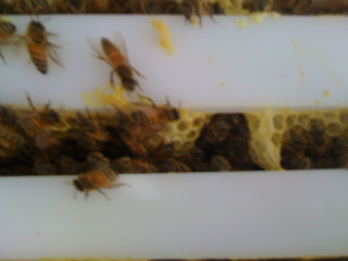 bees on Langstrom Frames