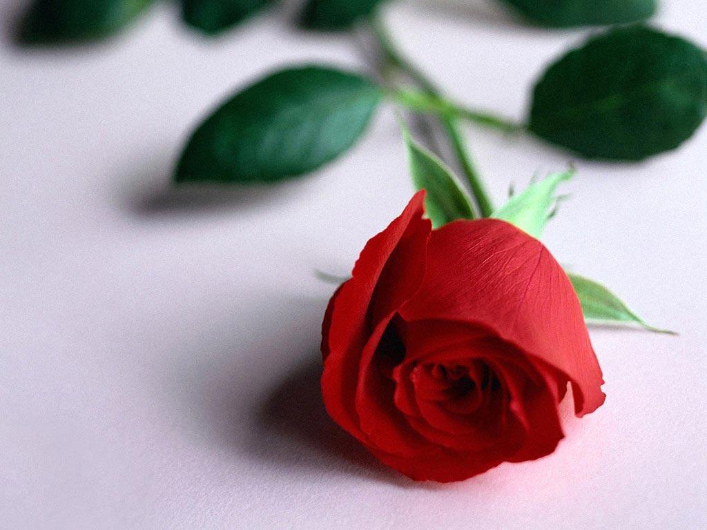 http://3.bp.blogspot.com/_6Dj_Rd1DGIk/TKYgCXN1GxI/AAAAAAAAAHM/ow0PeIr1jKo/s1600/Rosa+Roja.jpg