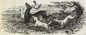 Deerhounds d'Lux