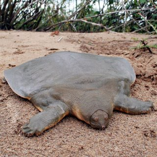 Cantor's giant soft-shelled turtle
