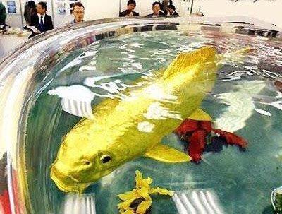 Similar Post: Foto Ikan Emas Terbesar di Dunia