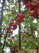 No Ordinary Cherry
