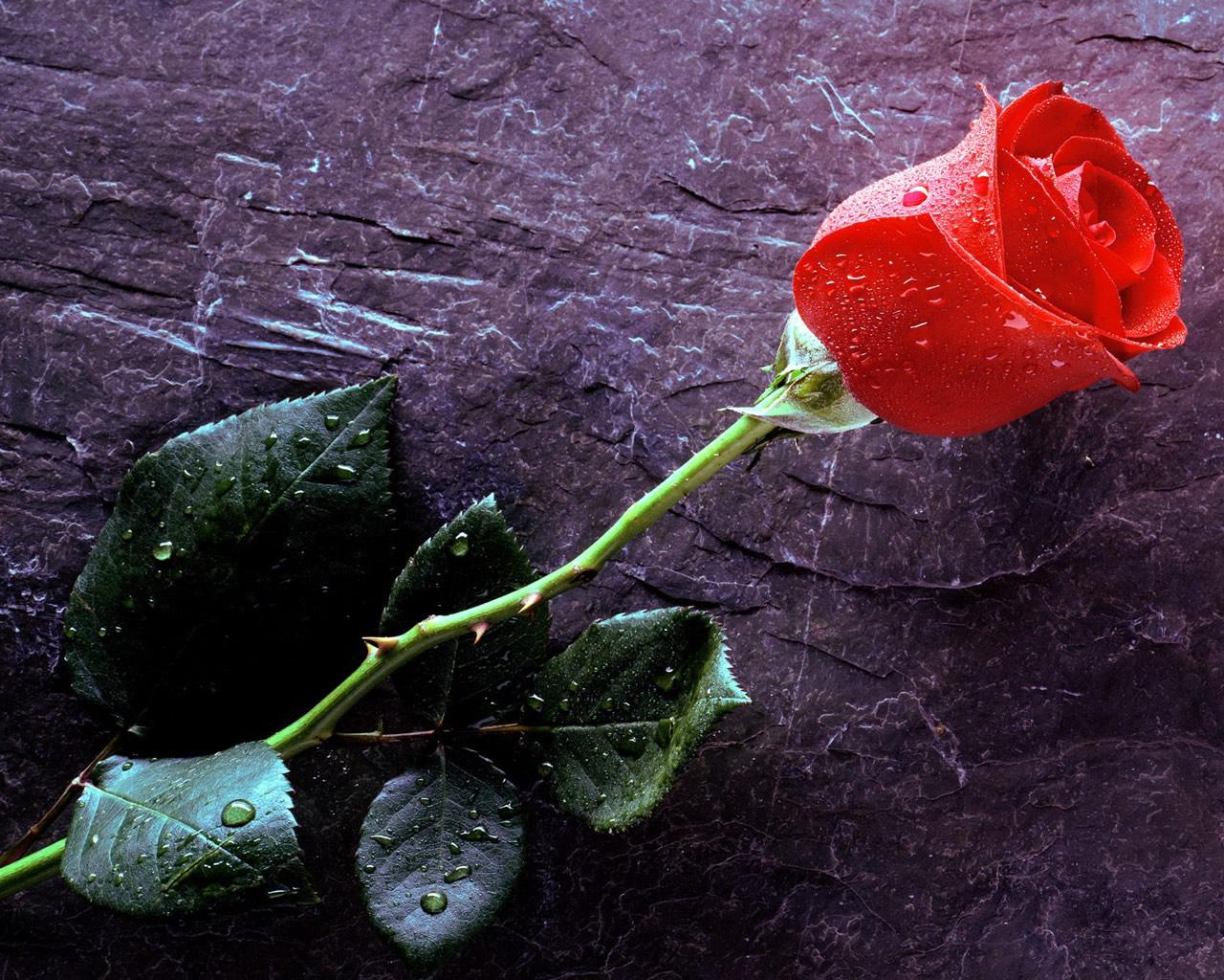 http://3.bp.blogspot.com/_6Ks7mquN8BQ/TMX10emmV2I/AAAAAAAAATU/-E9K0Hk-Bvc/s1600/trandafir_rosu.jpg