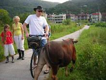 Cattle on the bike path