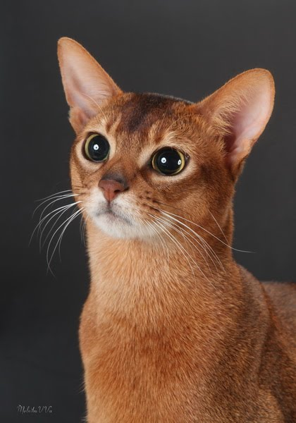 Абиссинский кот дикий окрас фото