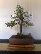 pré-bonsai - Jabuticaba