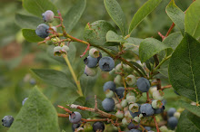 Blueberry Loaded Bushes
