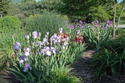 here is an overall view of the iris bed