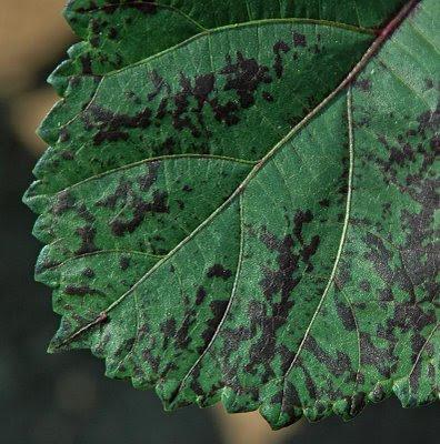 close-up of a purple okra leaf