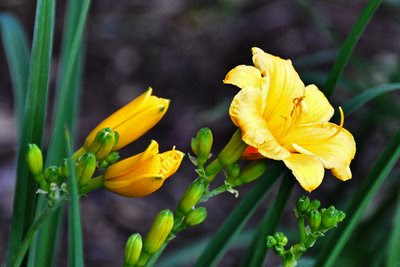 Star of Gold daylily