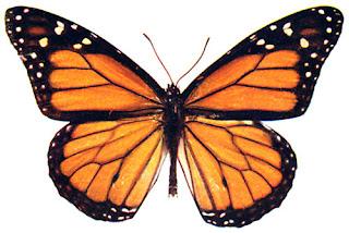 http://3.bp.blogspot.com/_6OfESU8WZ2Y/S65WIEw-3FI/AAAAAAAABMI/YO18u-hj9uY/s320/monarch-butterfly-6.jpg