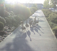 geese on the sidewalk