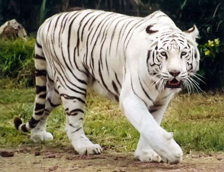 http://3.bp.blogspot.com/_6RxCwgHd7RQ/SxF9TEzL_EI/AAAAAAAAAGA/WlNcsAMIgaM/s1600/tigre-blanco%5B1%5D.jpg