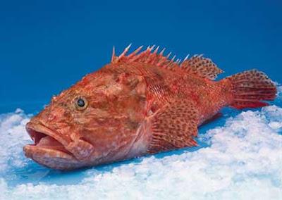 Cap roig cabracho rascasse rouge chapon for Prix poisson rouge tunisie