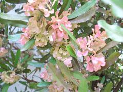 flor de la acacia