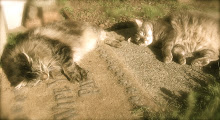 Petit Somme de Chat