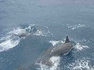 Wild dolphins in Hawaii watched from a boat in Molokai