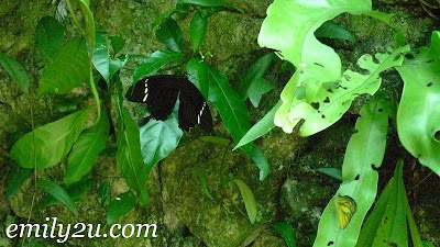 white striped butterfly