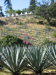 Beautiful Blue Agave