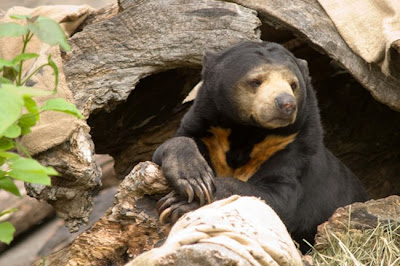 Malayan Sun Bear at the Oregon Zoo