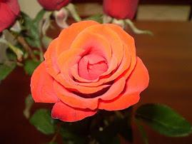 Rosa com amor