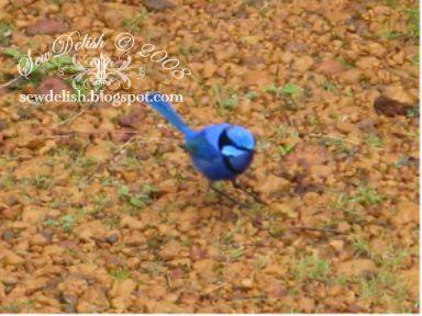 Blue wren male
