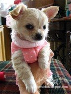 Chihuahua coat make no-sew jumper puppy dog sleeve sweater pattern
