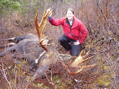 Moose captures & collaring