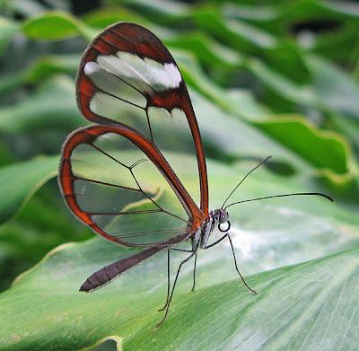 Cam kanatlı kelebek / Glasswing butterfly / Greta oto