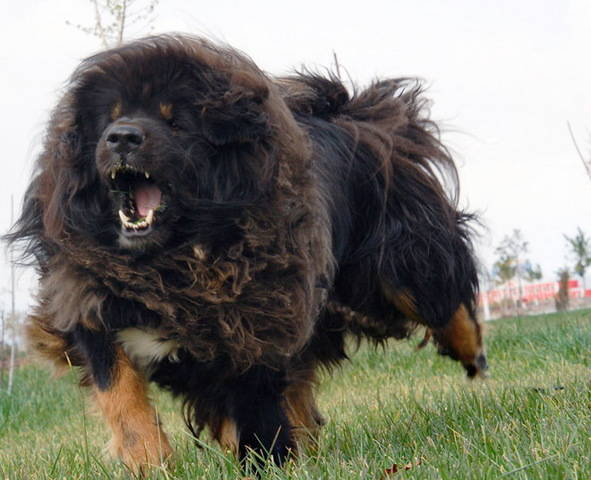 Hot and Cold Web: Most Ferocious Dog-Tibetan Mastiff