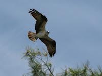 Osprey in the Basin