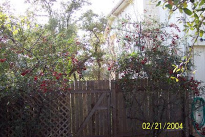 DivasoftheDirt, pyracantha after