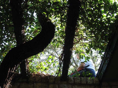 Divasofthedirt,fig vine from below